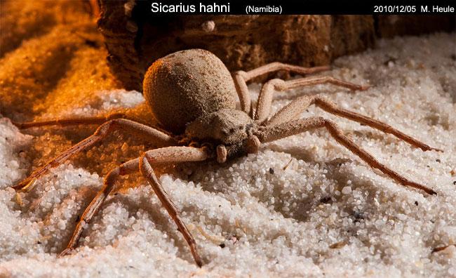 Un esemplare di Sicarius hahni