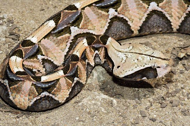 Una magnifico esemplare di Bitis Gabonica