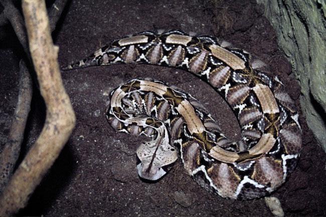 Una magnifico esemplare di Vipera del Gabon