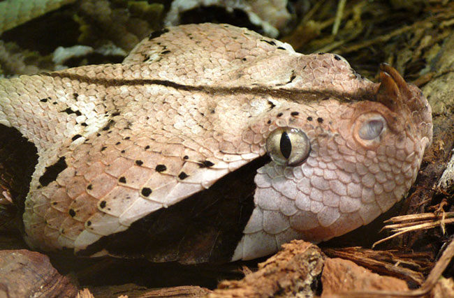 La foto ravvicinata della testa di una Vipera del Gabon