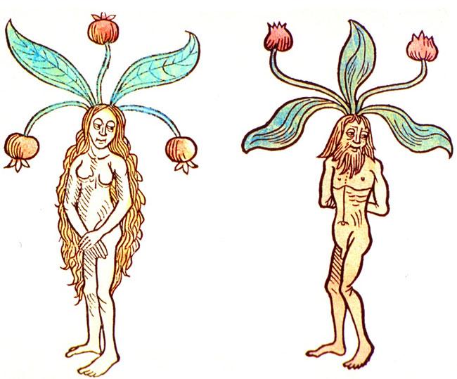 Illustrazione di Mandragola femmina e maschio da un vecchio codice