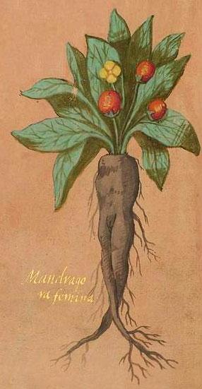 Illustrazione di Mandragola femmina