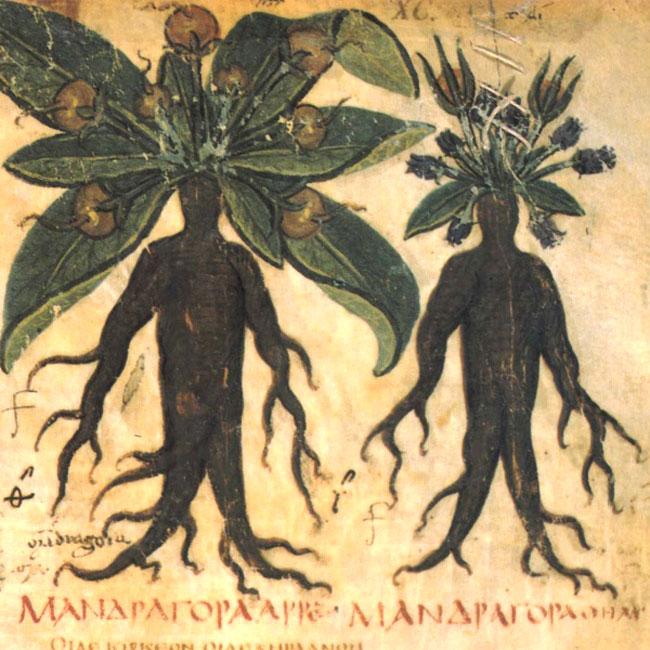 Illustrazione di Mandragora e homunculus