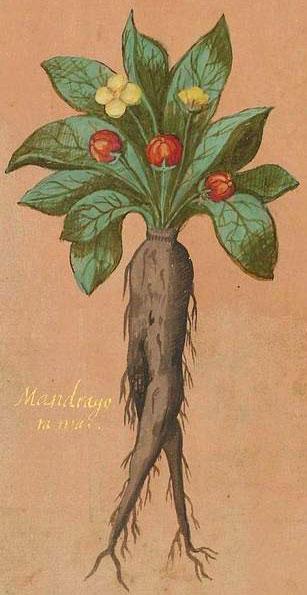 Illustrazione della pianta di Mandragola maschio