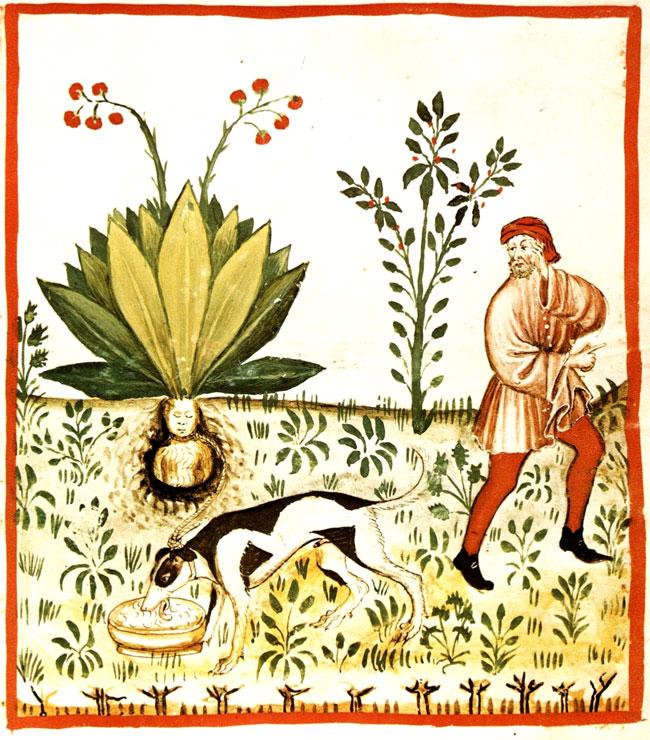 Illustrazione di Mandragola dal Tacuinum Sanitaris