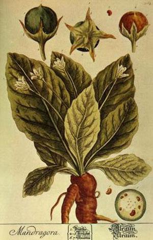 Un'illustrazione della pianta di Mandragola