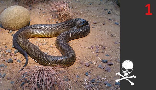 Serpenti velenosi la classifica dei venti col veleno pi for Nomi di rettili