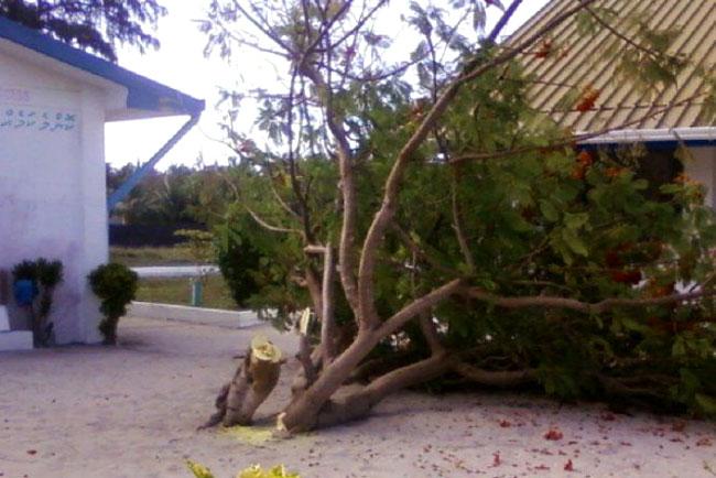 Il presunto albero posseduto abbattuto