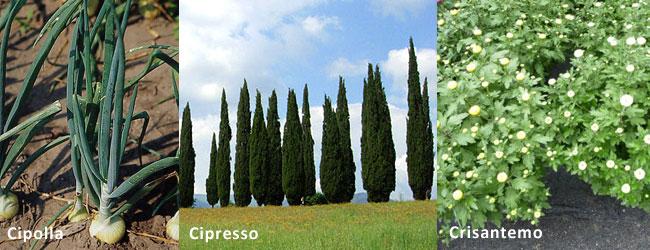 Simboli e significato delle piante Cipolla, Cipresso e Crisantemo