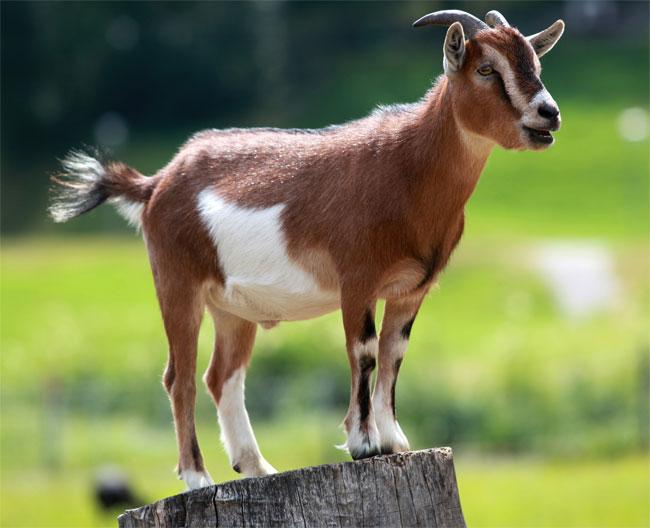 La foto di una capra sui monti