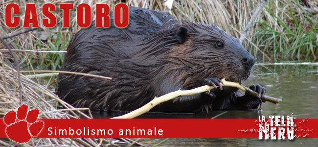 Simboli animali: il significato del Castoro