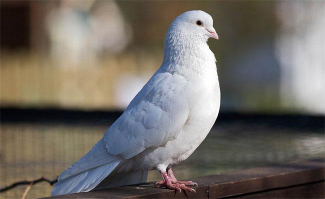 Una foto di una colomba bianca appoggiata a terra