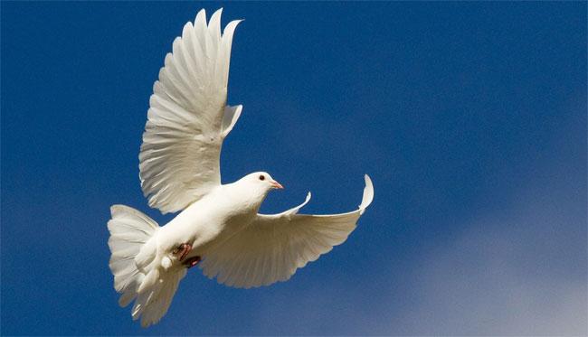 Una foto di una colomba bianca in volo