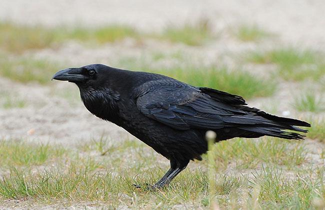 La foto di un misterioso corvo nero