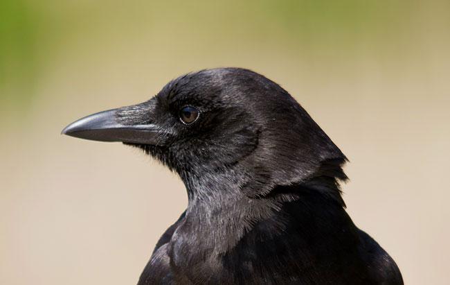 La testa di un corvo nero in placida osservazione