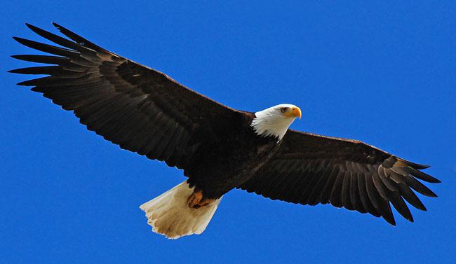 La foto di una maestosa aquila in volo nel cielo
