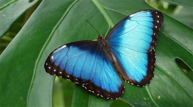 Una farfalla con le ali blu e azzurre posata su una foglia