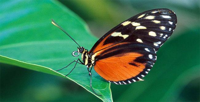 Una farfalla con le ali arancioni e maculate posata su una foglia