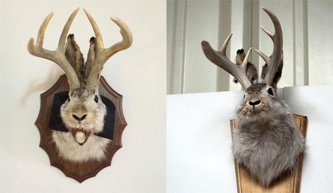 Due teste di jackalope imbalsamate usate come trofeo di caccia